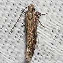 Moth unknown - Aristotelia ivae