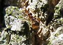 Fat ant - Prenolepis imparis