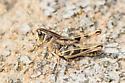 grasshopper - Boopedon gracile - female