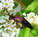 wasp-mimic fly - Ceraturgus elizabethae