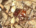 Red Spider - Steatoda erigoniformis