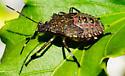 Brown Marmorated Stink Bug - nymph (5th instar?) - Halyomorpha halys - Halyomorpha halys