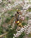 Western Cicada Killer - Sphecius grandis - male