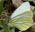 veined white butterfly (Pieris) - Pieris marginalis