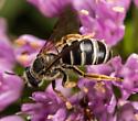 Bee - Halictus rubicundus