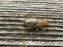 Cricket? - Anaxipha exigua - male