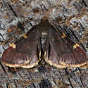 Unknown moth - Hypsopygia thymetusalis