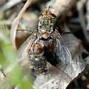 ID for a Tachinid fly? - Peleteria - male - female
