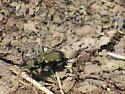 Allegany Co MD Tiger Beetle  - Cicindela ancocisconensis