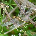 Golden Drangonfly - Libellula luctuosa