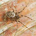 Spider on birch tree - Drapetisca alteranda - female