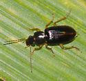 Beetle ID - Stenolophus ochropezus