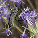 Thevenetimyia californica? - Thevenetimyia californica - female