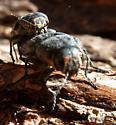 Mating Beetles - Buprestis lyrata