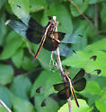 Widow Skimmer Dragonfly from above - Dorsal View - Libellula luctuosa - Libellula luctuosa - male - female
