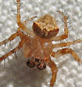 Another A. bispinosus male - Araneus bispinosus - male