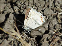 Butterfly - Lycaena xanthoides - male