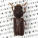 Horned Powder-post Beetle - Prostephanus punctatus