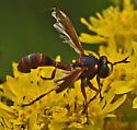 Thick-headed Fly 688A 9913 & 9919 - Physocephala marginata - female