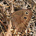 Brown butterfly with eye spots - Cercyonis pegala - female