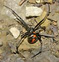female adult northern black widow/Latrodectus variolus - Latrodectus variolus - female