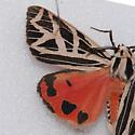 8196 Parthenice Tiger Moth - Apantesis phyllira