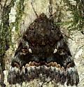 Catocala Moth - Catocala epione