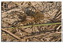 Medium sized spider with young - Rabidosa - female