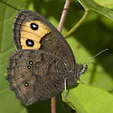 Common Wood Nymph - Cercyonis pegala - female
