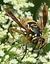 fly - Spilomyia alcimus