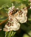 Small Moth - Epirrhoe alternata