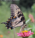 A Tiger Swallowtail (Papilio Glaucus) butterfly on a flower - Papilio glaucus - female