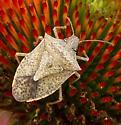 Insect on purple coneflower - Euschistus