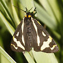 Wood Tiger Moth - Parasemia plantaginis