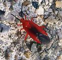 red bug of some sort - Coccobaphes frontifer