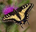 Papilio zelicaon? - Papilio zelicaon