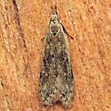 Dichomeris punctipennella