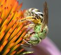 A sweat bee? - Agapostemon virescens - female