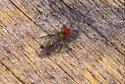 A very interesting Fly - also very small - Syneches rufus