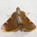 Yellow-fringed Dolichomia Moth - Hodges#5533 (Dolichomia olinalis) ? - Hypsopygia olinalis