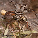 Spider eating grasshopper - Agelenopsis