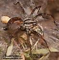 Spider eating grasshopper - Agelenopsis