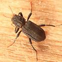 Riffle Beetle - Stenelmis