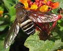 Bee Fly - Exoprosopa argentifasciata