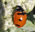 Transverse Lady Beetle - Coccinella transversoguttata