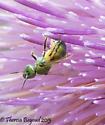 bee/fly - Augochloropsis - female