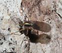 Dolichopodidae - Dolichopus