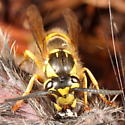 Yellowjacket on something dead - Vespula flavopilosa - female