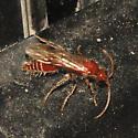 Velvet Ant??