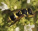 Wasp on Mint - Ancistrocerus gazella